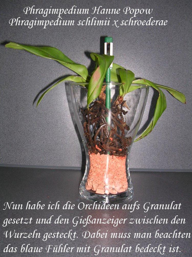5101_1_1299143064_maeselchen_Phrags. Hanne Popow 2