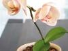 orchidee_topf_beige