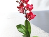 orchidee_topf_rot