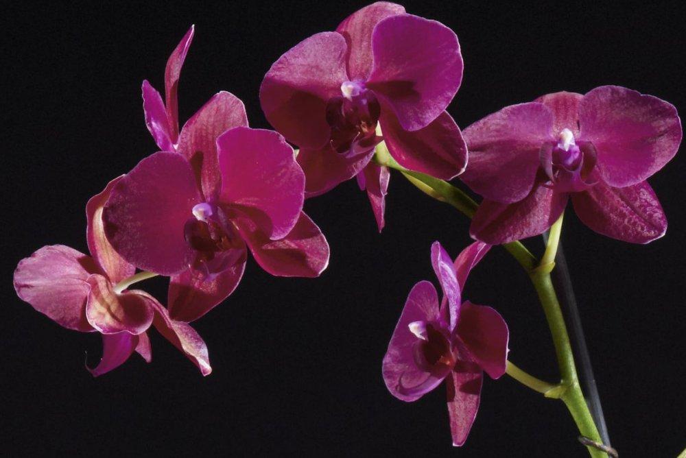 streamen rote orchideen auf deutsch mit deutschen untertiteln in 4320p coolifil. Black Bedroom Furniture Sets. Home Design Ideas