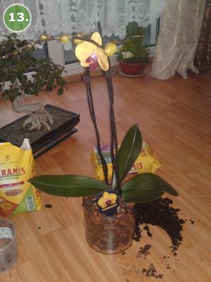 5109_1_1334850418_commandertwo_013 orchideen-pracht