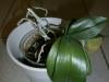 5109_1_1335294165_OlliT_Orchidee1